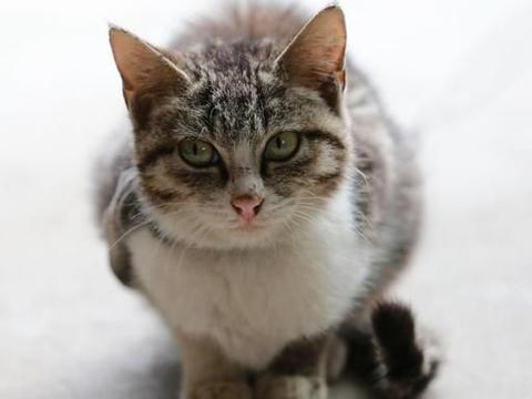 猫咪口角炎能吃阿莫西林吗
