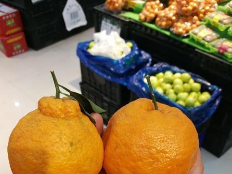 春见粑粑柑和丑橘的区别,耙耙柑的主要性状和栽培
