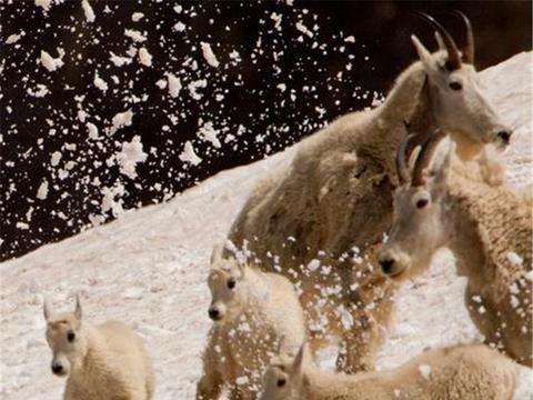 山羊一家几口在高山上玩耍,接着出现的事情,让羊群顿时慌乱
