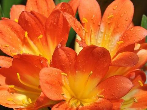 3种花夏天在休眠,要控水少浇水,叶色油绿,顺利度夏