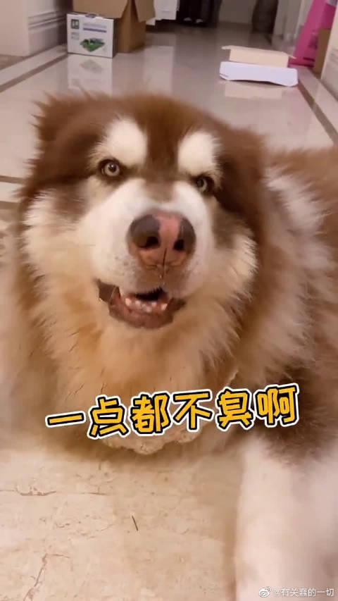 女主人说阿拉斯加犬的脚臭,憨憨的阿拉斯加犬生气了……