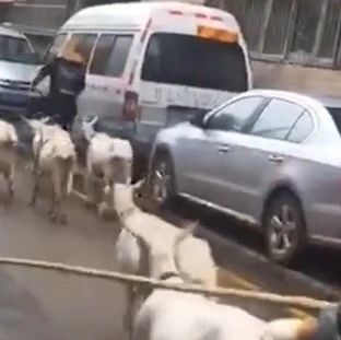 气愤!两男子赶羊群过小区暴打鸣笛司机!