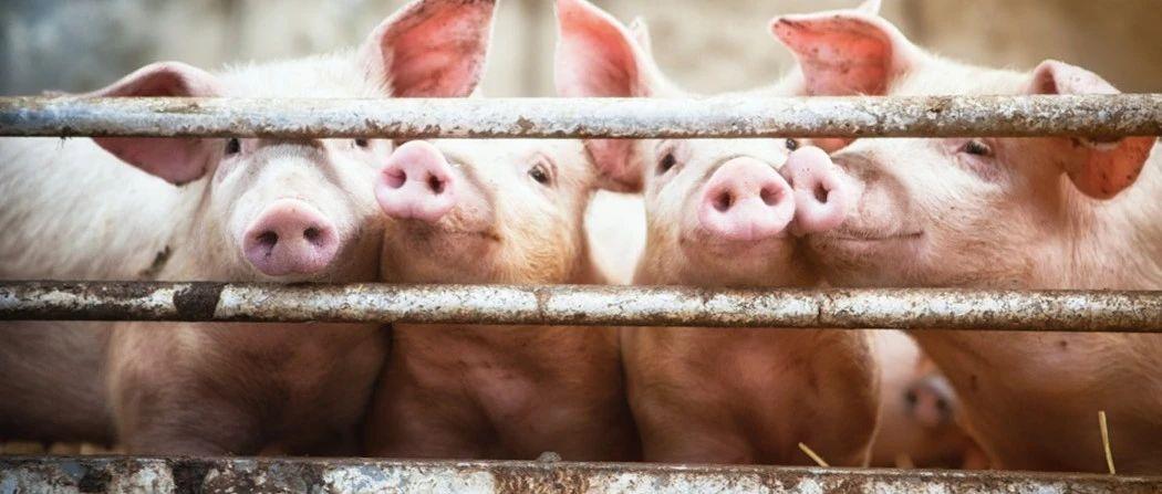 新型猪流感要来了?还会人传人?论文作者回应