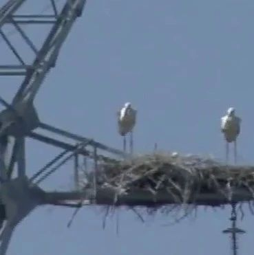 高压塔上发现9个鸟巢,太危险!工作人员这个办法让网友狂赞