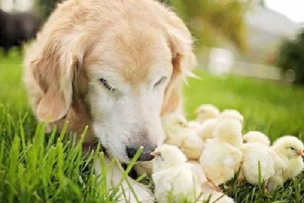 """生肖狗与生肖鸡婚配,将会""""鸡犬不宁""""?那你就大错特错了"""