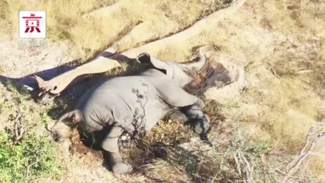 3个月内至少275头非洲象离奇死亡……