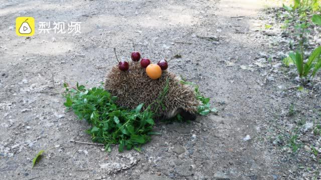 小刺猬溜进居民家找吃的,被工作人员送回树林