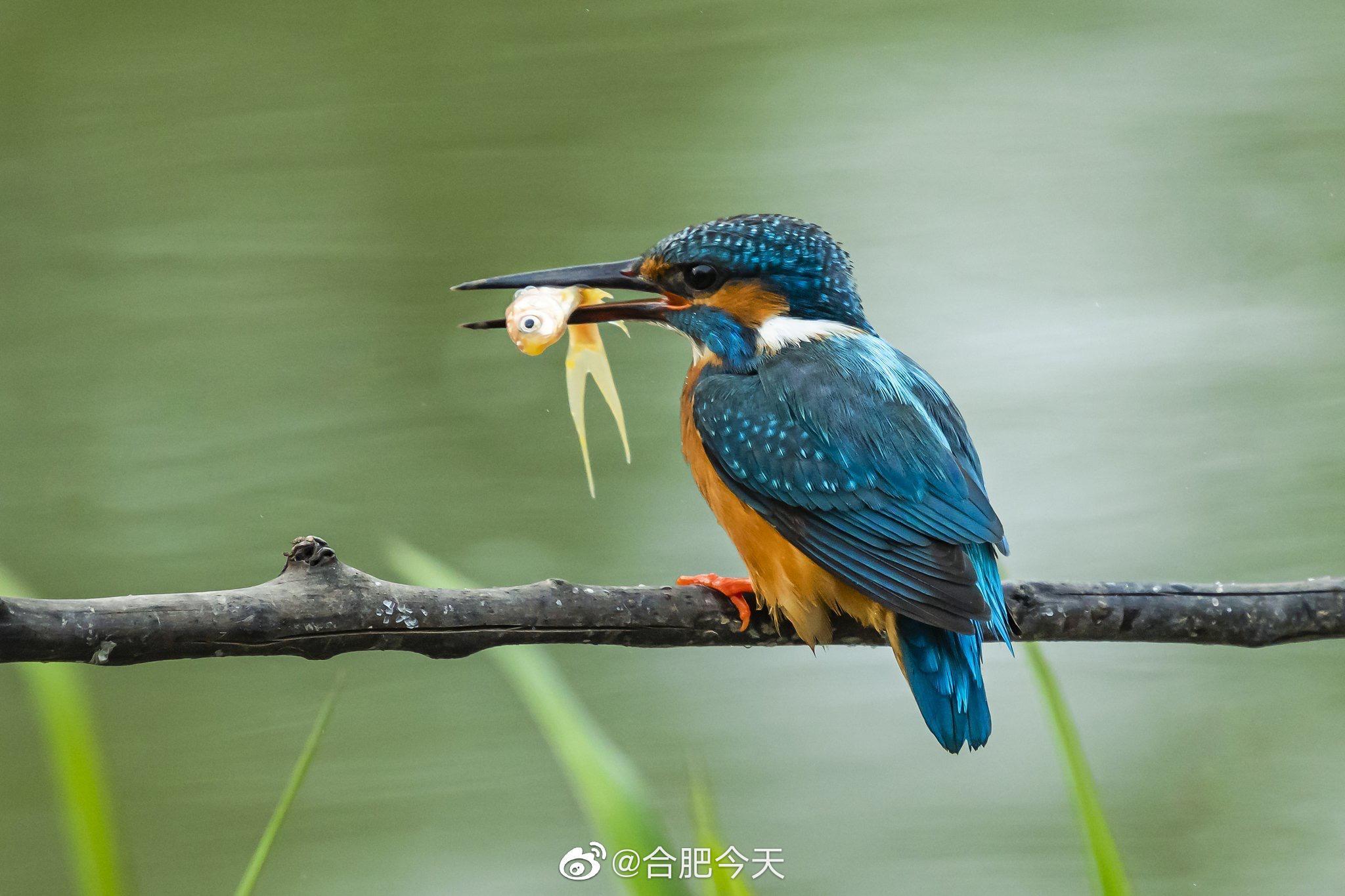 借鱼献爱!摄影师捕捉到两只翠鸟的亲密瞬间
