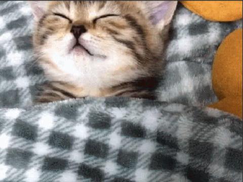 猫咪躺被子里睡觉,鼾声四起,主人掀开被子后迷茫了