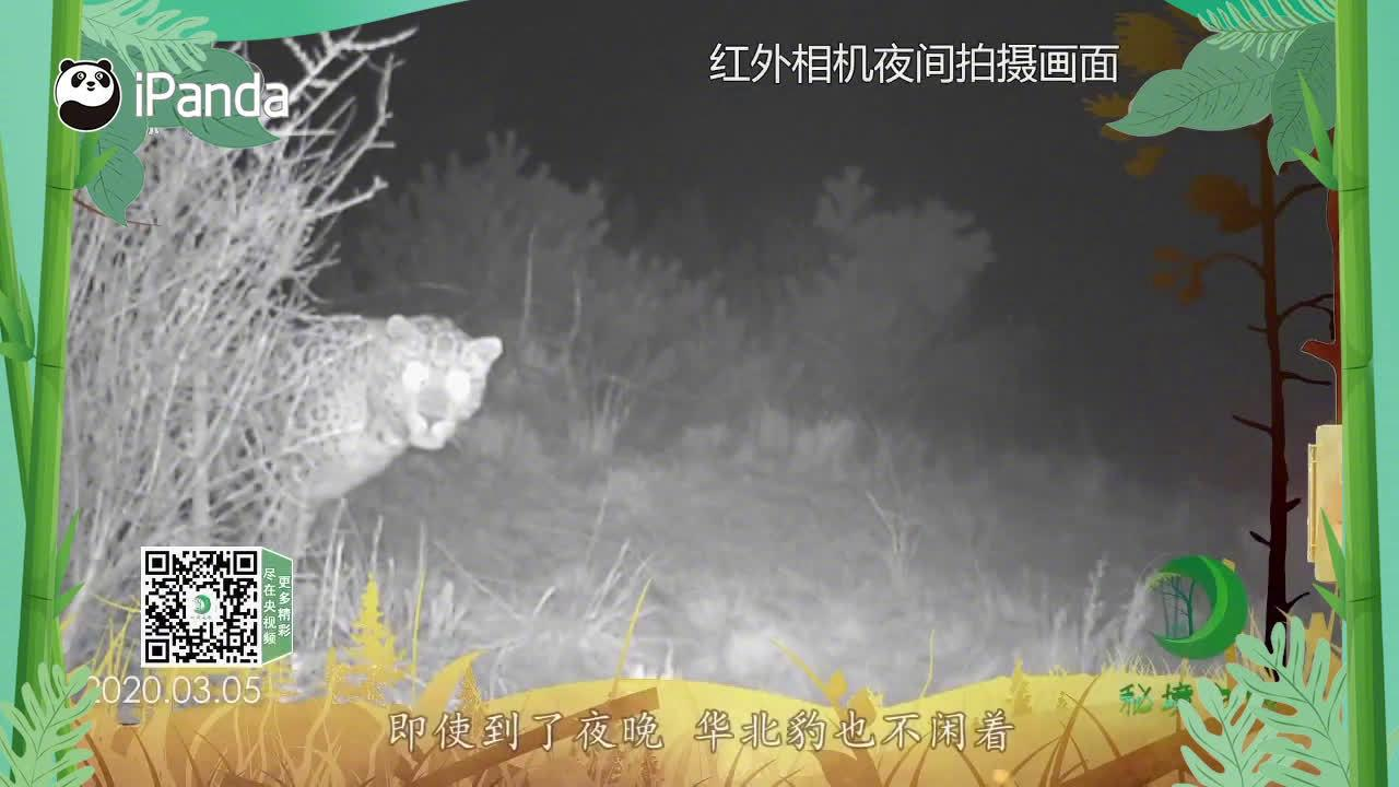 自带节奏刨坑打滚的占地高手——华北豹