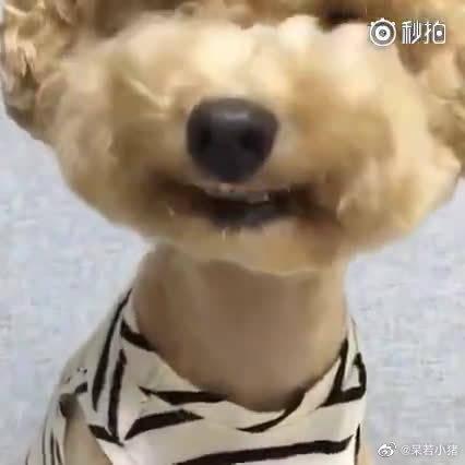 一只极具网红气质的泰迪,看到主人在拍照,就立马露出牙齿微笑……