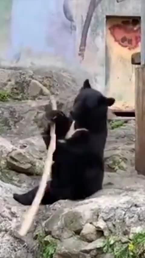 一只亚洲黑熊被拍下在掌间旋转木棍画面……