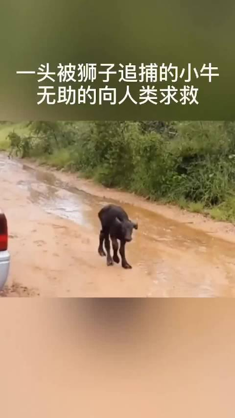一头小牛被母狮子盯上了,向车里的人类求助……