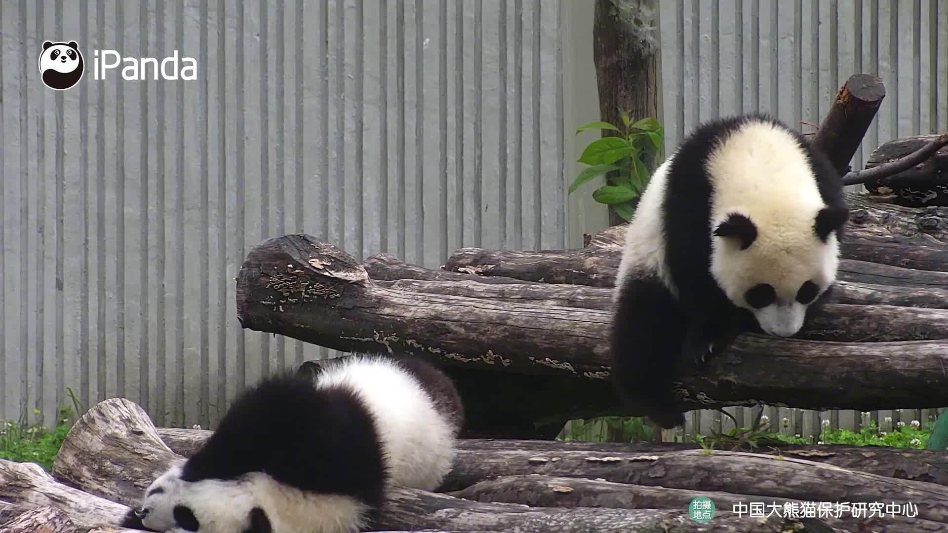 一只熊猫宝宝在木架上先挠痒,另一只熊猫宝宝看见后……