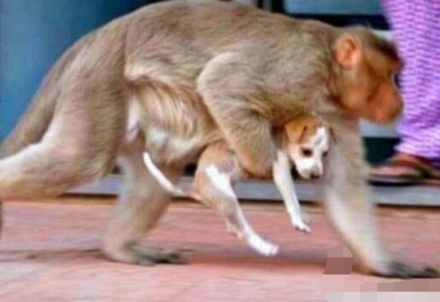 母猴把流浪狗当亲生孩子,挺身而出吓退恶犬,难以相信