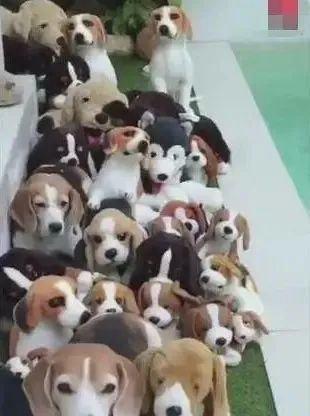 狗狗藏匿在玩具中,网友:找不出有几只真狗!