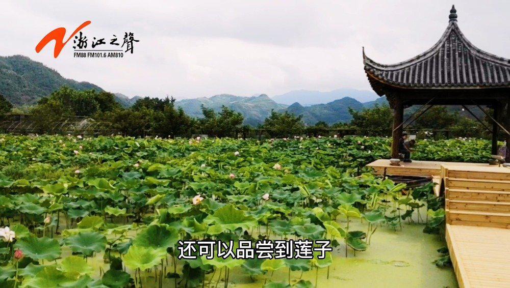 """走向我们的小康生活‖莲子连成浙中县城的""""美丽经济"""""""