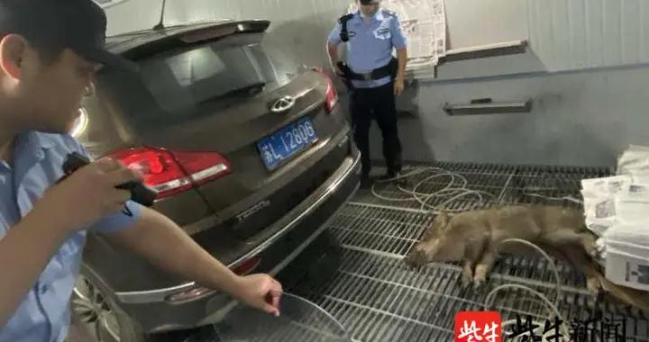 野猪嚣张下山强闯民宅撞伤报警人