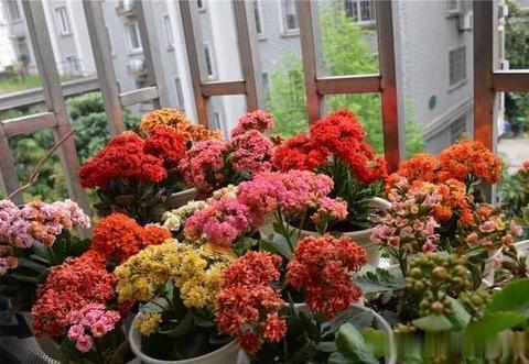 夏天养长寿花,掌握几个要点,安全度夏,秋凉早开花
