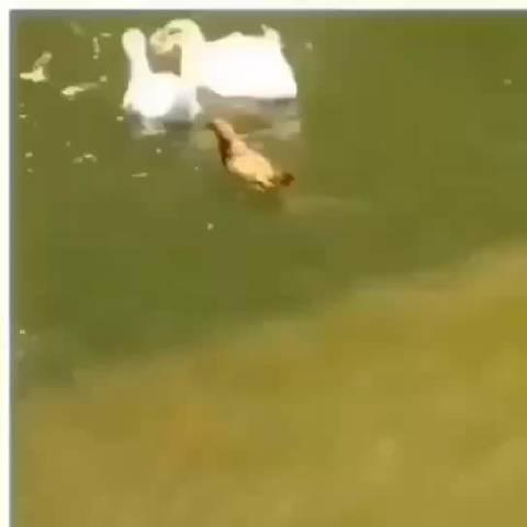 鸡跟鹅混久了 鸡也学会游泳了 这说明什么……? 圈子很重要!