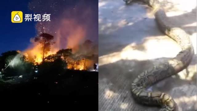 男子为寻刺激纵火致森林火灾,60斤巨蟒被烧死
