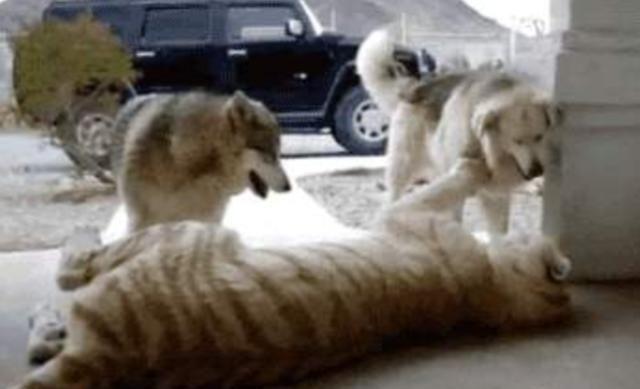 二哈第一次看到老虎,成功把老虎带偏,直接走向狗生巅峰!