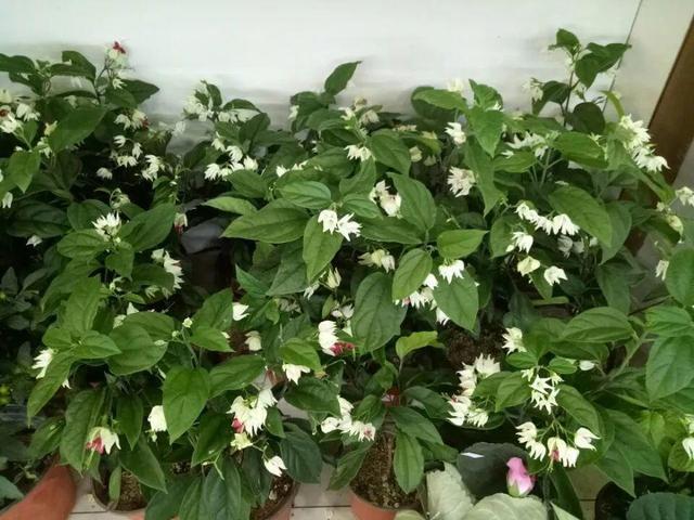 """养了几种垂藤花,长成非常漂亮的""""花窗帘"""",夏天遮阴还能赏花"""