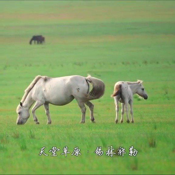 夏日锡林郭勒草原上的可爱萌萌小马驹……