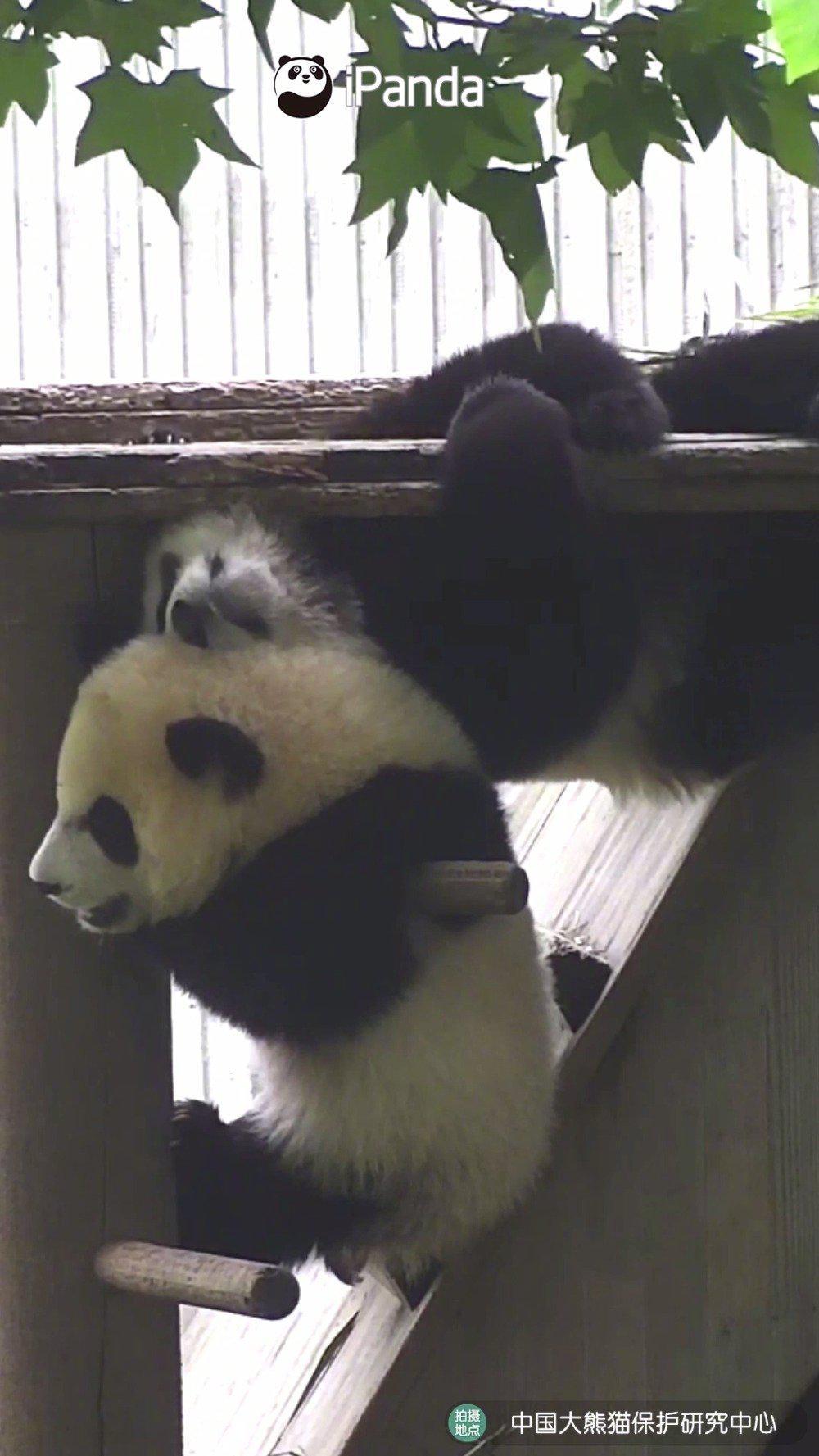 熊猫宝宝阻挡别熊爬上木架,结果自己倒挂在了木架上……