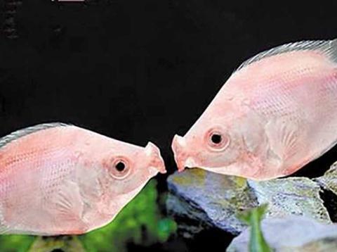 常见的热带鱼喂什么最合适?这其中非常有讲究,不妨一看!