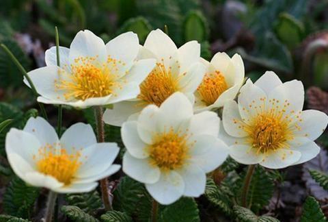 """苔原的""""守护者""""寒带地区的标志性植物——仙女木!"""