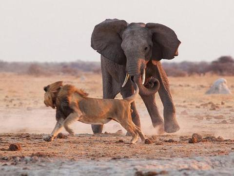 狮子和大象为争夺一片水源大打出手, 最后狮子发现自己摊上事了