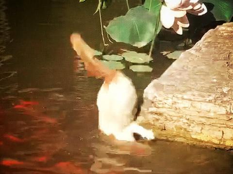 橘猫捉鱼掉进湖水,本以为是青铜,没想到竟是王者