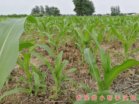 7月高温天气来袭,玉米种植户需警惕高温热害,3点措施提前预防