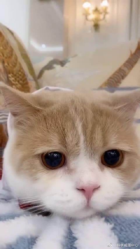 猫咪被夸可爱,猫咪听见以后的样子真的是太呆萌了