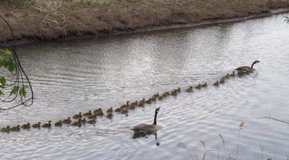 加拿大一只鹅妈妈照顾47只鹅宝宝 浩浩荡荡队伍超壮观