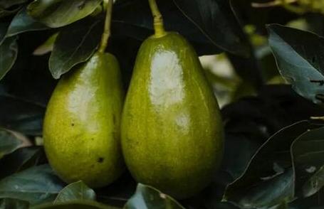 油梨营养丰富、护肤美容,农民教你种植技巧收获优质高产油梨!