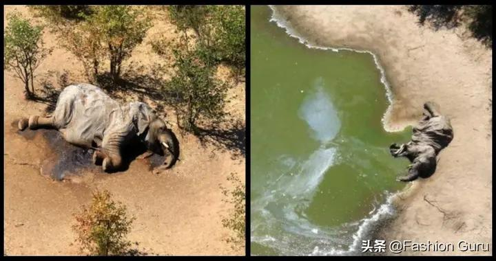 非洲逾350大象离奇死亡,专家疑与新冠病毒有关