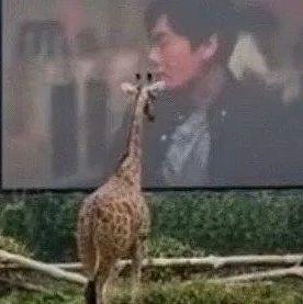 长颈鹿爱上看电视,凭身高抢C位!网友:往后站站,小心近视