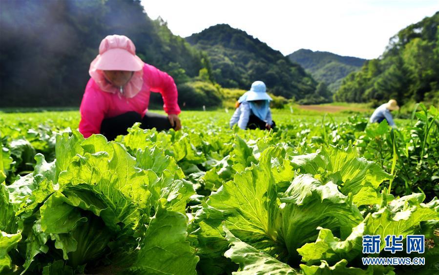 陕西太白:秦岭高山蔬菜走出大山