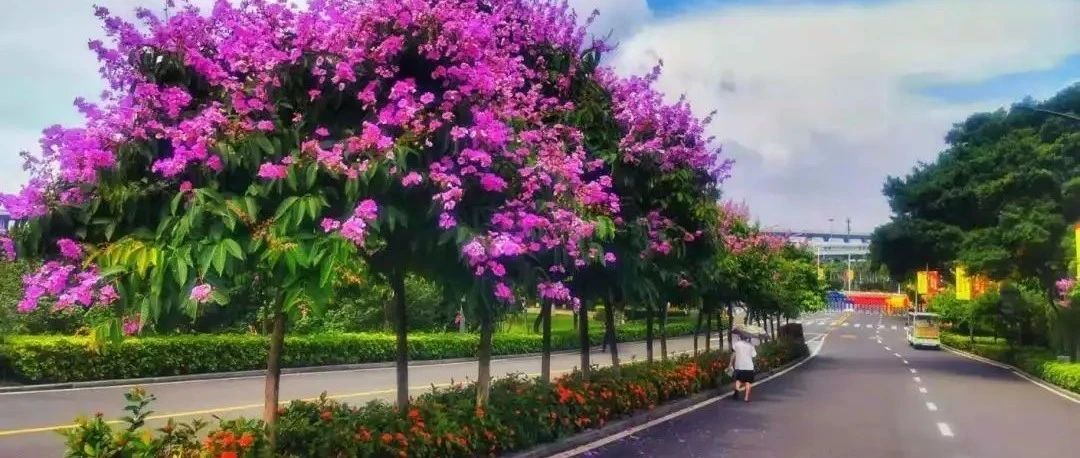 盛夏时节,厦门这片紫色花海上线了!快约上小伙伴一起去赏花吧!
