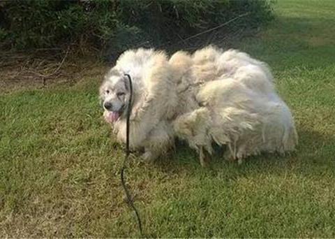 狗狗身上剪下的毛重30斤 体积是狗狗的两倍 背后的故事令人心酸