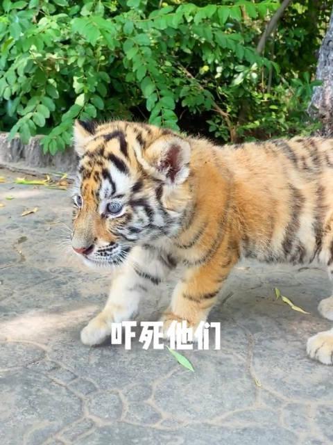 小老虎的恶虎咆哮到底有多可爱??