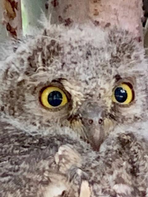 接上条 猫头鹰在感到紧张的时候眼睛会不停地眨 这只东方角鸮看似