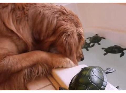 主人因金毛伤心,给狗狗买乌龟,没想到它在浴缸中捞乌龟