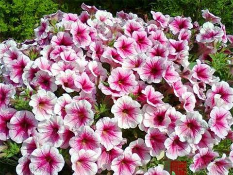 矮牵牛夏天也能开爆盆,避开1个坑,多做3件事,花朵又大又多