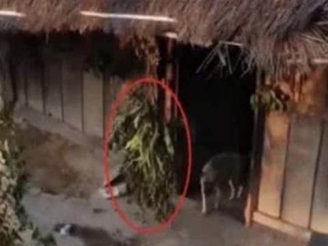 老挝女性在门口挂树枝,这代表什么意思?看到后不要轻易进去了!
