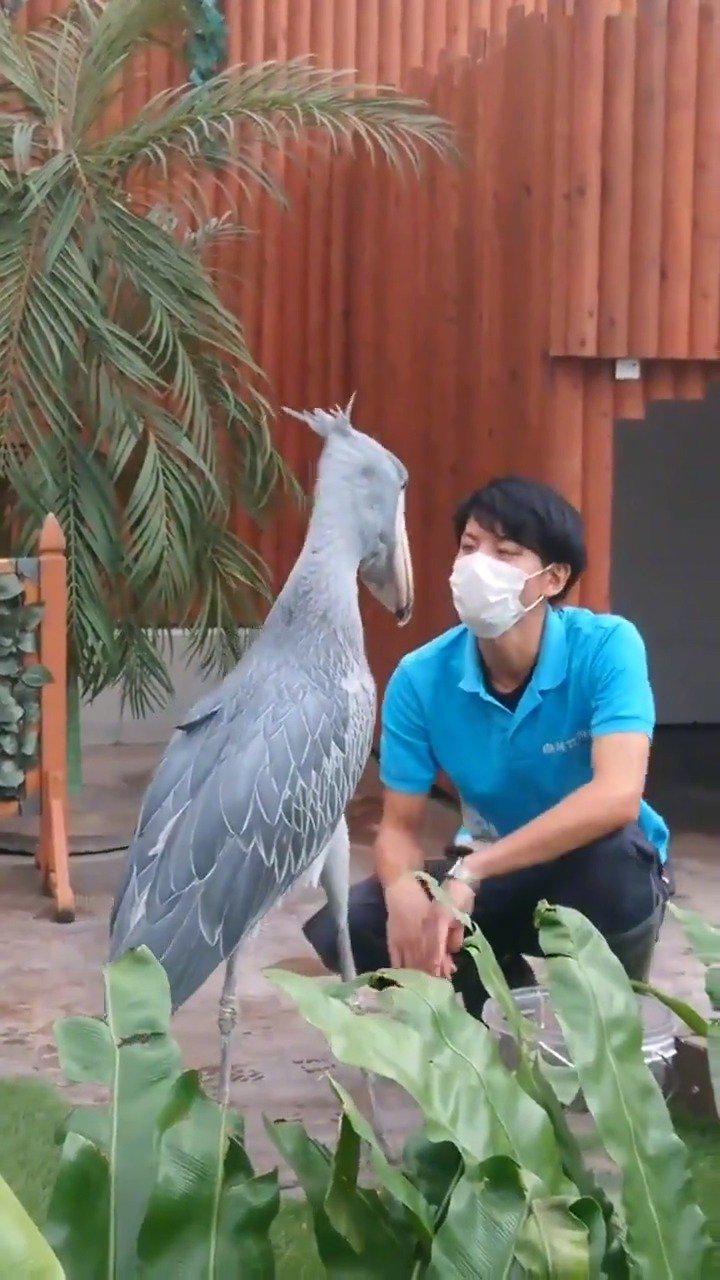 掛川花鸟园和饲养员玩耍的鲸头鹳~