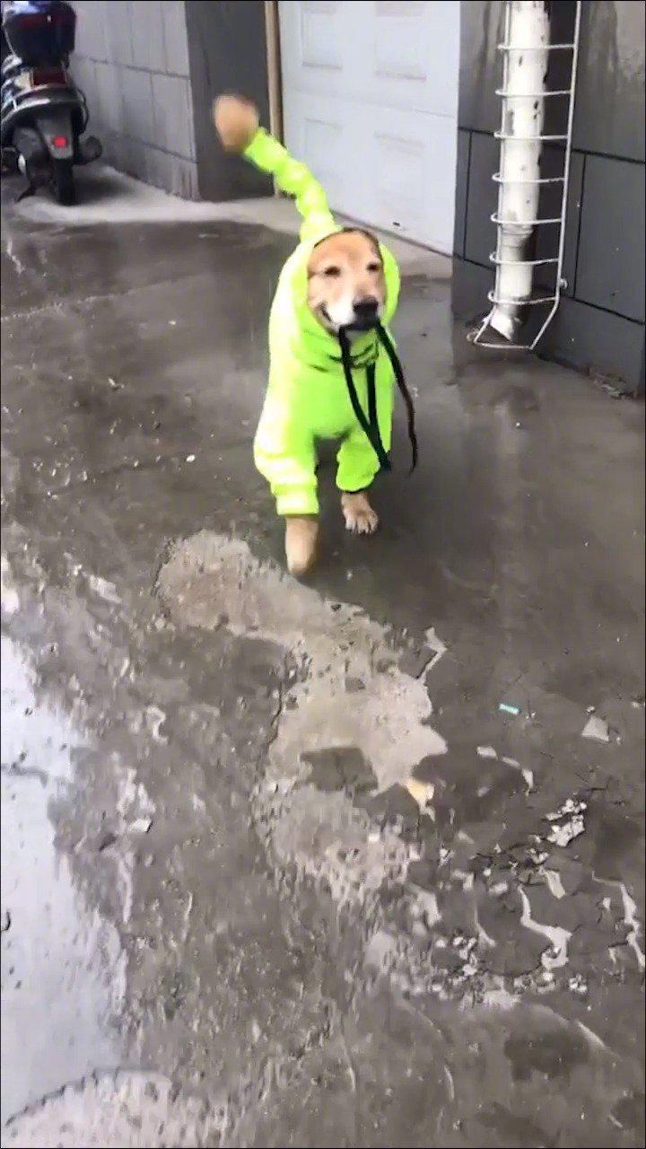 梅雨季节来啦,狗子们的雨衣都安排好了吗!