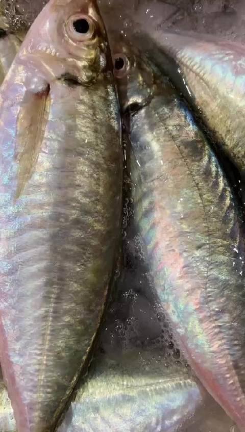 生态养殖巴浪鱼,肥嘟嘟满身氨基酸,刺身品质